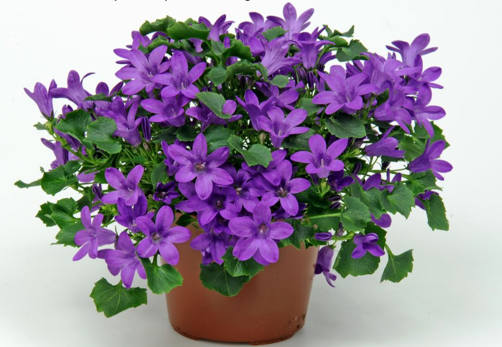 Campanula portenschlagiana la ghiveci asa cum o gasesti in florariile de la noi.