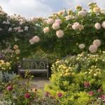 "The Shrub Rose Garden cu diferite varietăți de trandafiri Rosa ""Reve d'Or"" , Rosa ""Goldbusch"", Rosa ""Molineux"" și Rosa ""Wisley"", în grădina de trandafiri RHS Rosemoor din Devon, Marea Britanie"