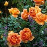 Trandafirii Pat Austin in gradina de la Gradina Bijoux_2