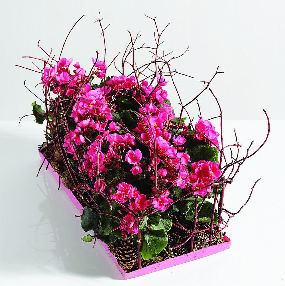 Begonia lorraine intr-un platou decorativ creat pe o tava colorata