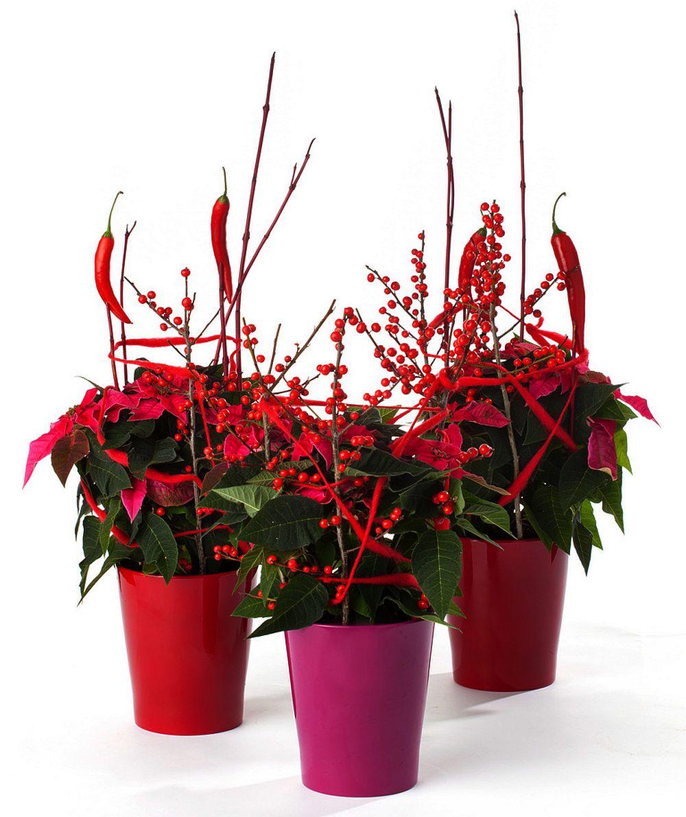 Euphorbia pulcherrima la ghiveci decorata cu crengute in care sunt infipti si ardei rosii