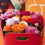 adelaparvu.com despre plantele cu flori la ghiveci in trendul primaverii 2014, Ranunculus, Foto Floradania 1