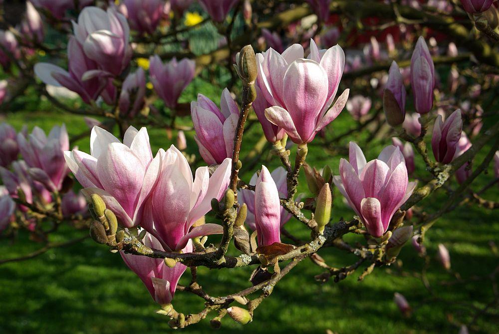 adelaparvu.com despre Magnolia, text Carli Marian (11)