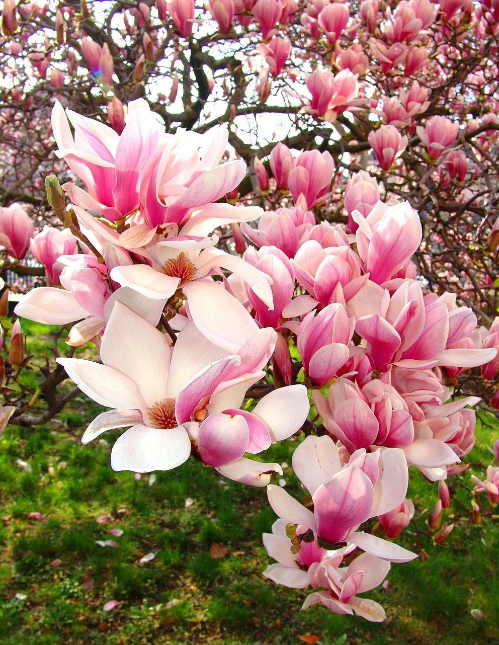 adelaparvu.com despre Magnolia, text Carli Marian (1)a