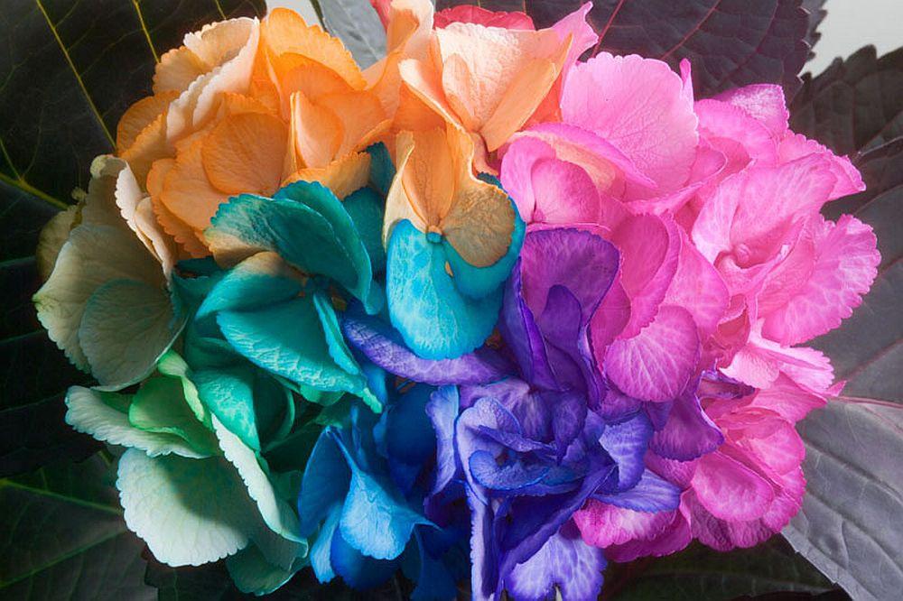 adelaparvu.com despre inventatorul Peter van de Werken, trandafiri curcubeu, flori curcubeu, Rainbowed Roses (1)