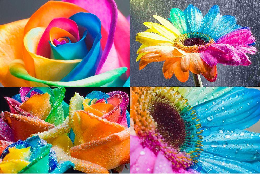 adelaparvu.com despre inventatorul Peter van de Werken, trandafiri curcubeu, flori curcubeu, Rainbowed Roses (12)