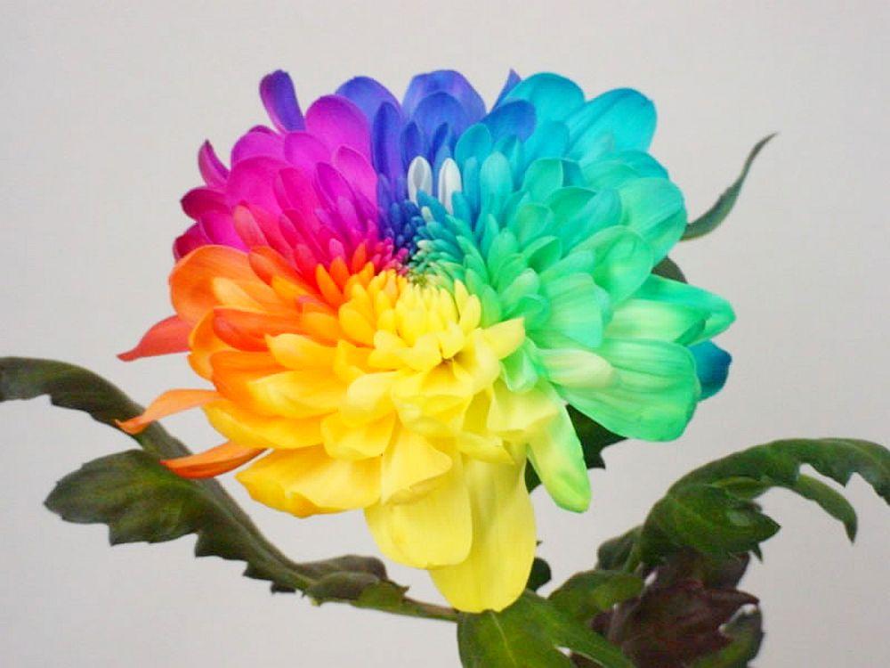 adelaparvu.com despre inventatorul Peter van de Werken, trandafiri curcubeu, flori curcubeu, Rainbowed Roses (3)