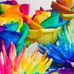 adelaparvu.com despre inventatorul Peter van de Werken, trandafiri curcubeu, flori curcubeu, Rainbowed Roses (4)