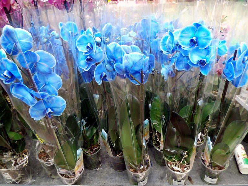 adelaparvu.com despre orhidee albastre, orhidee colorate artificial, Text Carli Marian, Phalaenopsis royal blue (1)