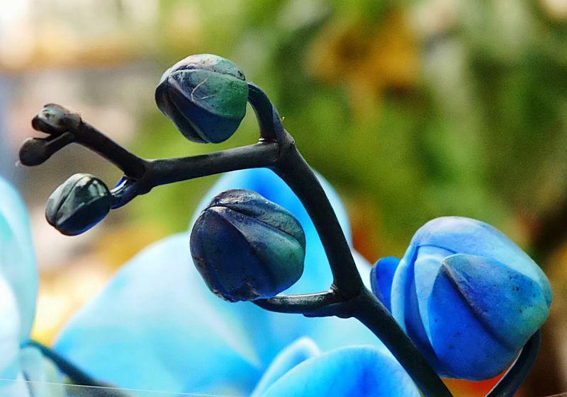 adelaparvu.com despre orhidee albastre, orhidee colorate artificial, Text Carli Marian, Phalaenopsis royal blue (2)
