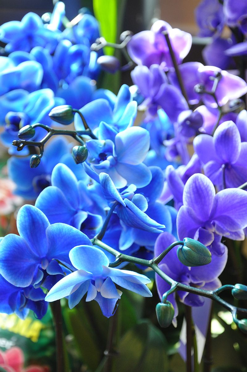 adelaparvu.com despre orhidee albastre, orhidee colorate artificial, Text Carli Marian, Phalaenopsis royal blue (5)