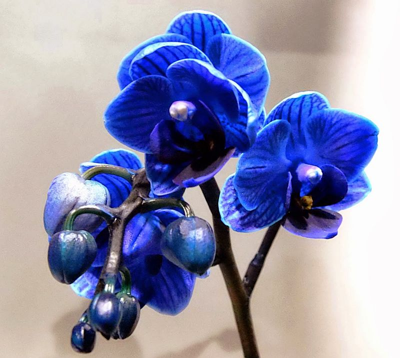 adelaparvu.com despre orhidee albastre, orhidee colorate artificial, Text Carli Marian, Phalaenopsis royal blue (6)