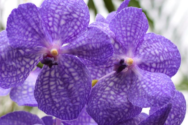adelaparvu.com despre orhidee colorate natural, Text Carli marian, orhidee mov, violet, Vanda coerulea (1)