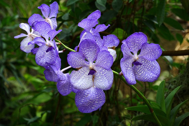 adelaparvu.com despre orhidee colorate natural, Text Carli marian, orhidee mov, violet, Vanda coerulea (4)