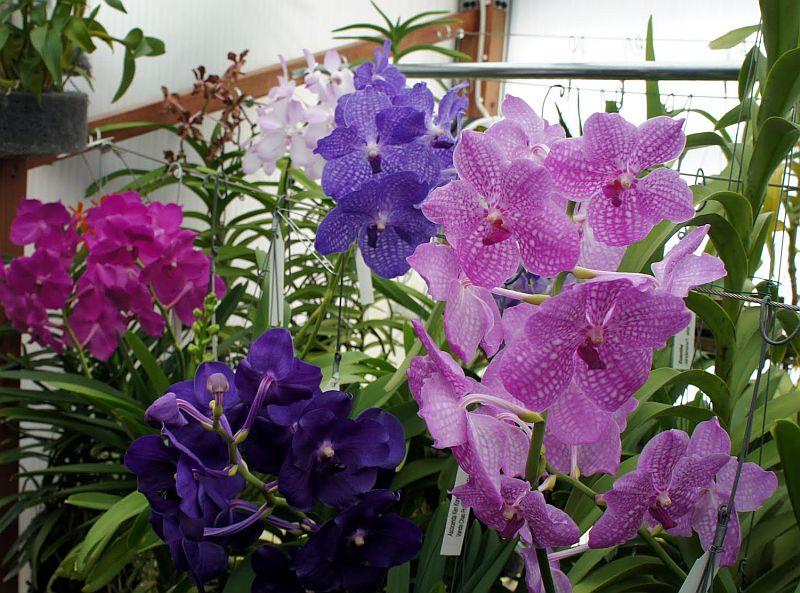 adelaparvu.com despre orhidee colorate natural, Text Carli marian, orhidee mov, violet, Vanda coerulea (6)