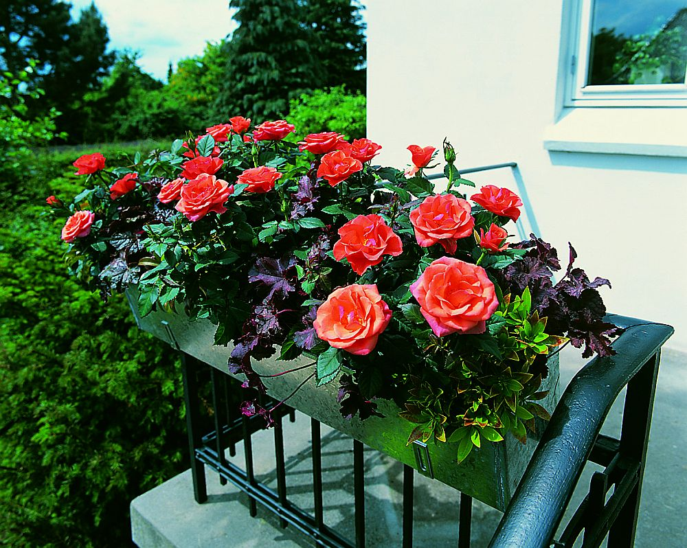 adelaparvu.com despre trandafirii pitici, ingrijirea trandafirilor pitici, Rosa hybrid, text Carli Marian, Foto Floradania (17)