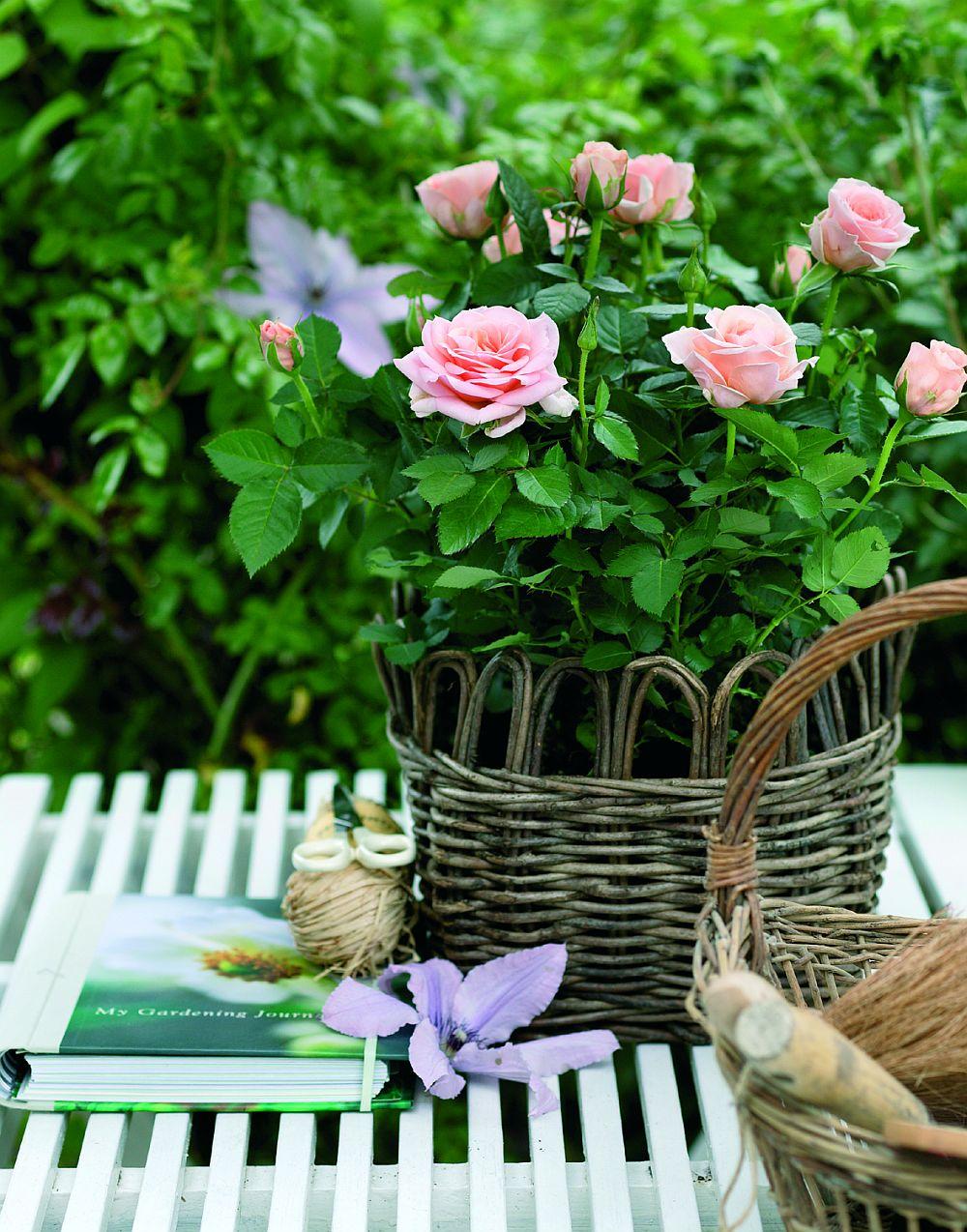 adelaparvu.com despre trandafirii pitici, ingrijirea trandafirilor pitici, Rosa hybrid, text Carli Marian, Foto Floradania (10)