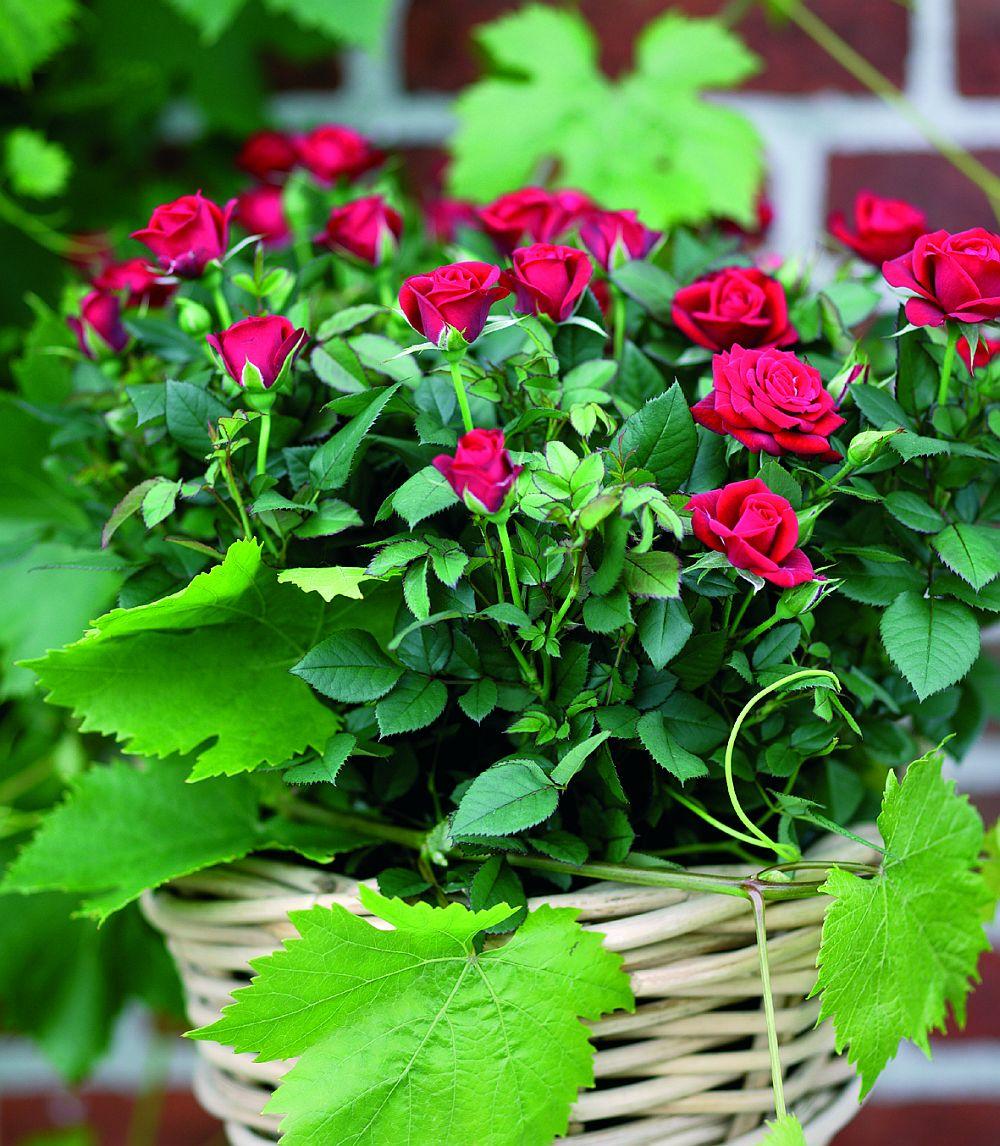 adelaparvu.com despre trandafirii pitici, ingrijirea trandafirilor pitici, Rosa hybrid, text Carli Marian, Foto Floradania (11)
