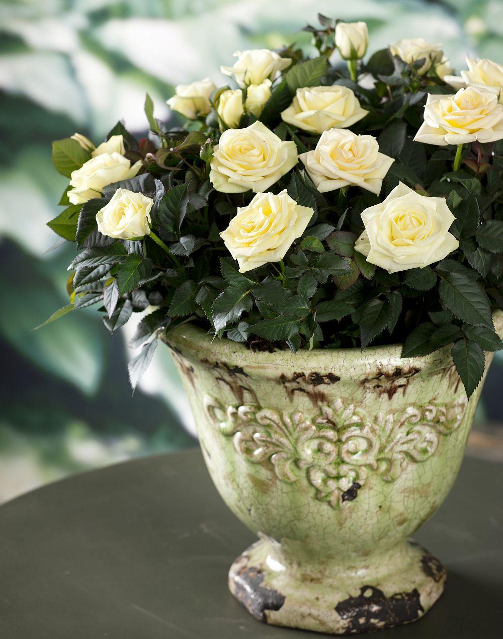 adelaparvu.com despre trandafirii pitici, ingrijirea trandafirilor pitici, Rosa hybrid, text Carli Marian, Foto Floradania (12)