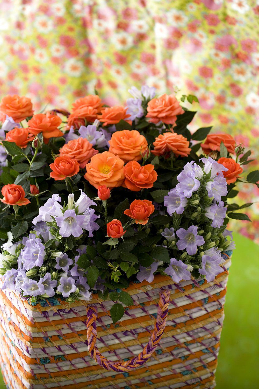 adelaparvu.com despre trandafirii pitici, ingrijirea trandafirilor pitici, Rosa hybrid, text Carli Marian, Foto Floradania (13)
