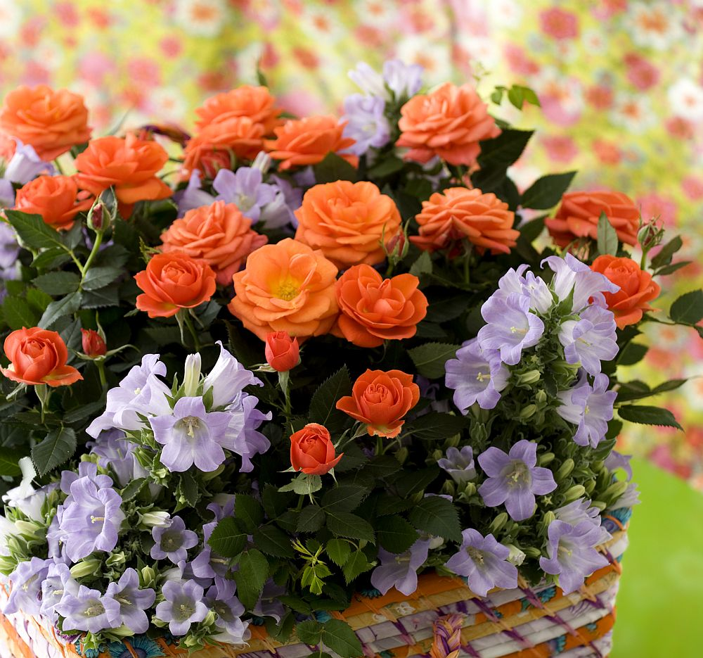 adelaparvu.com despre trandafirii pitici, ingrijirea trandafirilor pitici, Rosa hybrid, text Carli Marian, Foto Floradania (14)