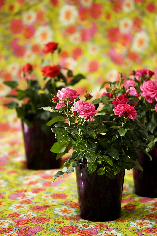 adelaparvu.com despre trandafirii pitici, ingrijirea trandafirilor pitici, Rosa hybrid, text Carli Marian, Foto Floradania (15)