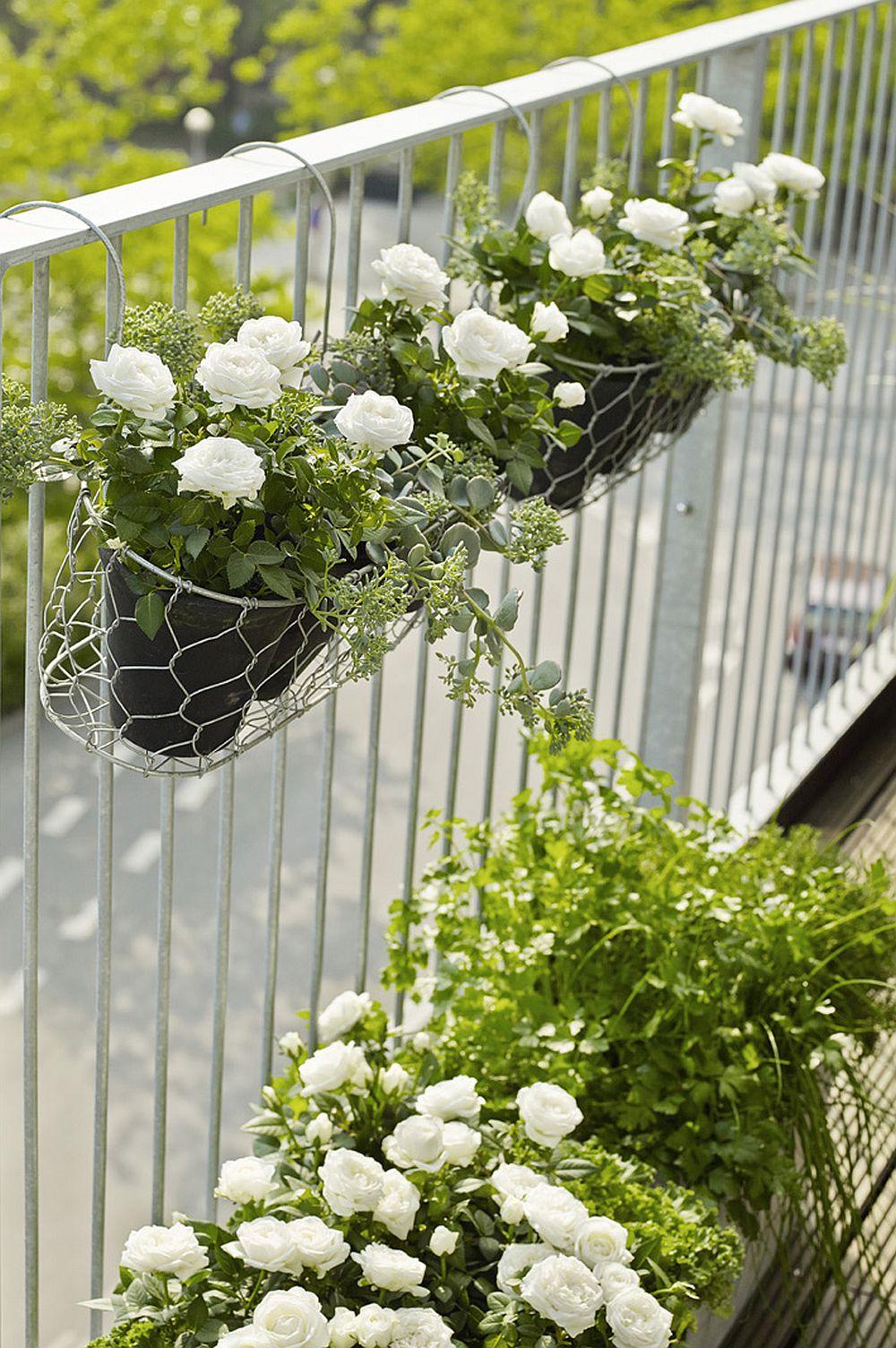 adelaparvu.com despre trandafirii pitici, ingrijirea trandafirilor pitici, Rosa hybrid, text Carli Marian, Foto Floradania (16)