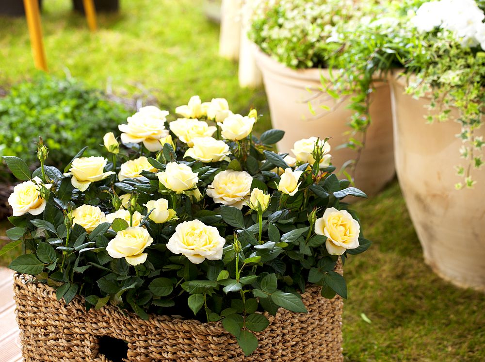 adelaparvu.com despre trandafirii pitici, ingrijirea trandafirilor pitici, Rosa hybrid, text Carli Marian, Foto Floradania (4)
