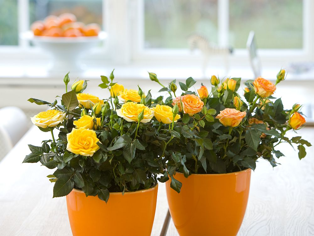 adelaparvu.com despre trandafirii pitici, ingrijirea trandafirilor pitici, Rosa hybrid, text Carli Marian, Foto Floradania (6)