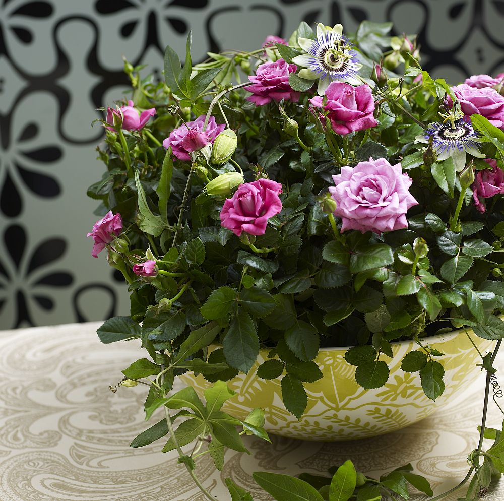 adelaparvu.com despre trandafirii pitici, ingrijirea trandafirilor pitici, Rosa hybrid, text Carli Marian, Foto Floradania (8)