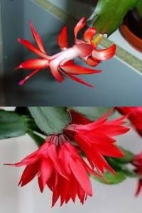 Diferente intre sus-- Craciunita si jos - Floarea Pastelui (Rhipsalidopsis)