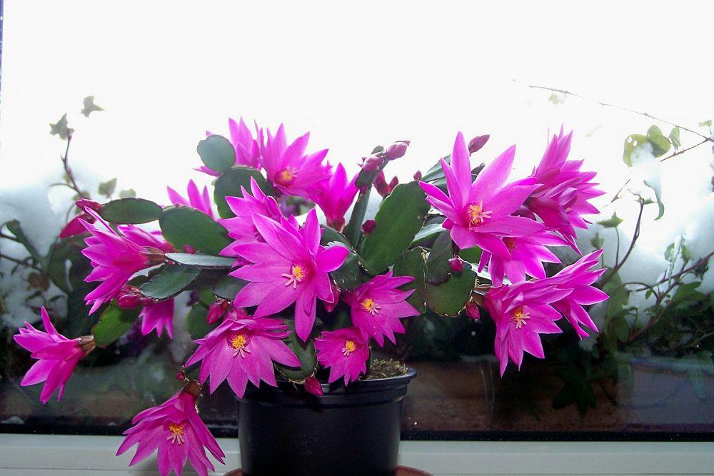 adelaparvu.com despre Florea Pastelui, Rhipsalidopsis, text Carli Marian, Foto Floradania (1)