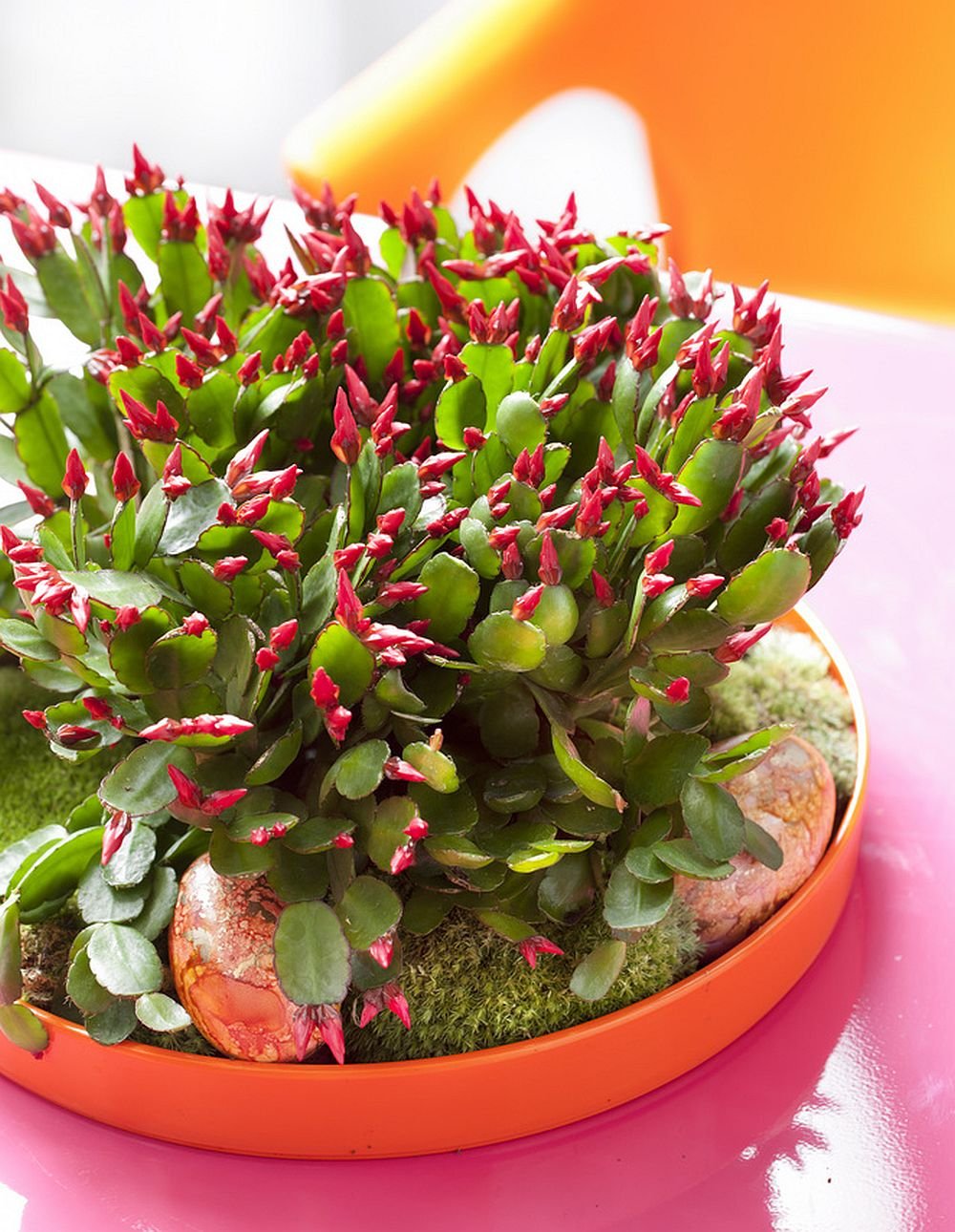 adelaparvu.com despre Florea Pastelui, Rhipsalidopsis, text Carli Marian, Foto Floradania (10)