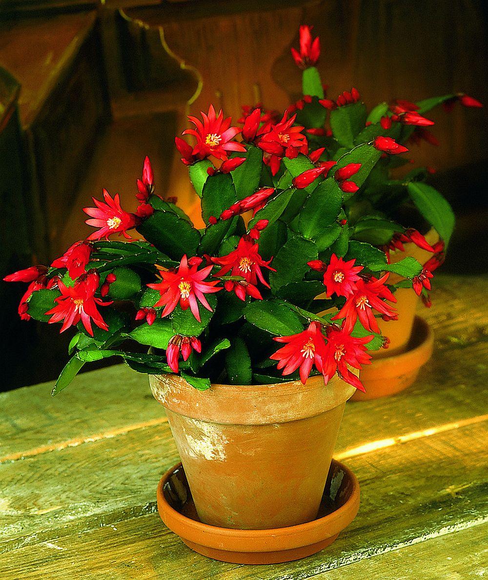 adelaparvu.com despre Florea Pastelui, Rhipsalidopsis, text Carli Marian, Foto Floradania (11)