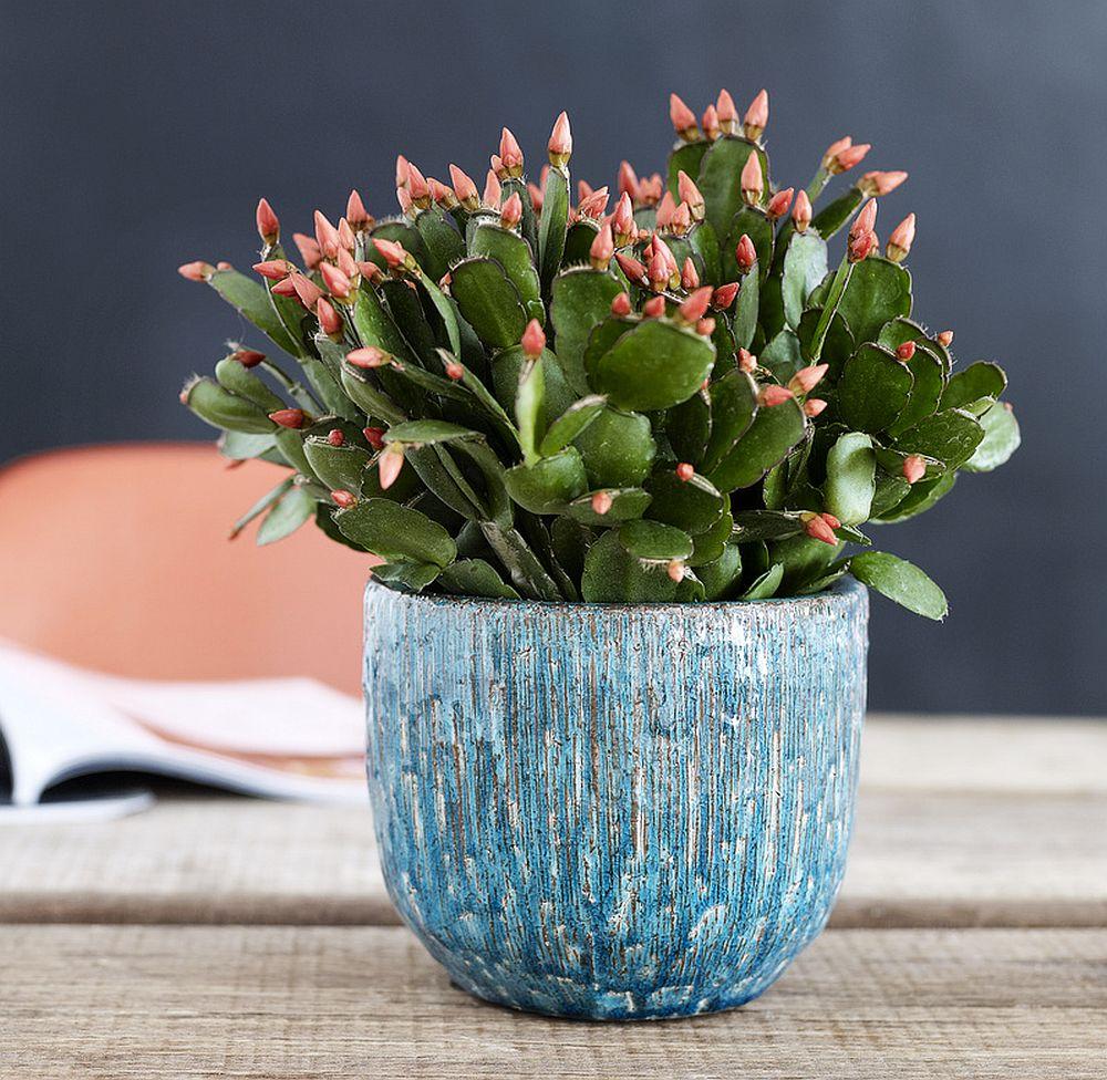 adelaparvu.com despre Florea Pastelui, Rhipsalidopsis, text Carli Marian, Foto Floradania (12)