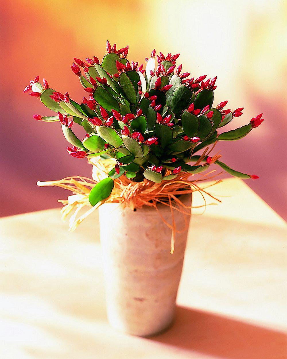 adelaparvu.com despre Florea Pastelui, Rhipsalidopsis, text Carli Marian, Foto Floradania (13)