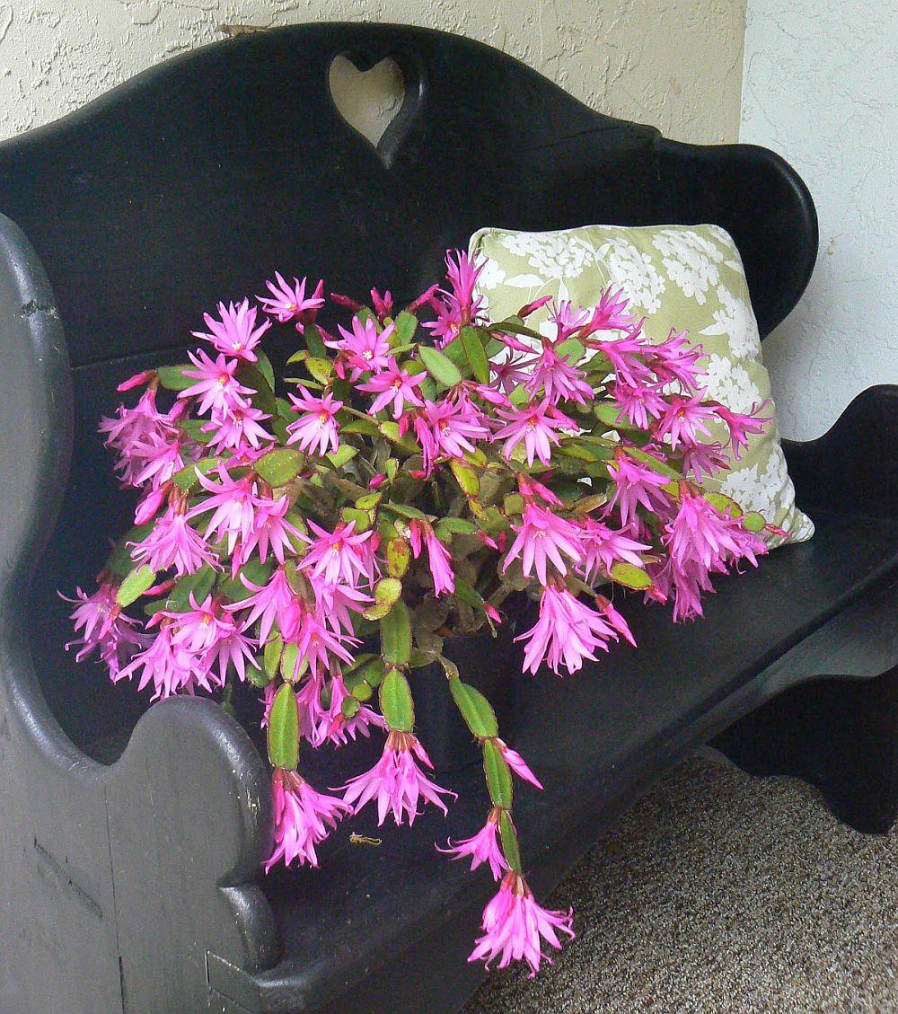 adelaparvu.com despre Florea Pastelui, Rhipsalidopsis, text Carli Marian, Foto Floradania (14)