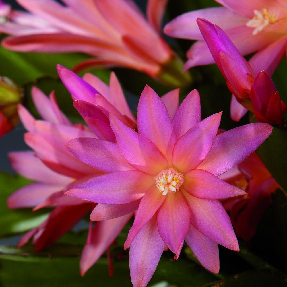 adelaparvu.com despre Florea Pastelui, Rhipsalidopsis, text Carli Marian, Foto Floradania (2)