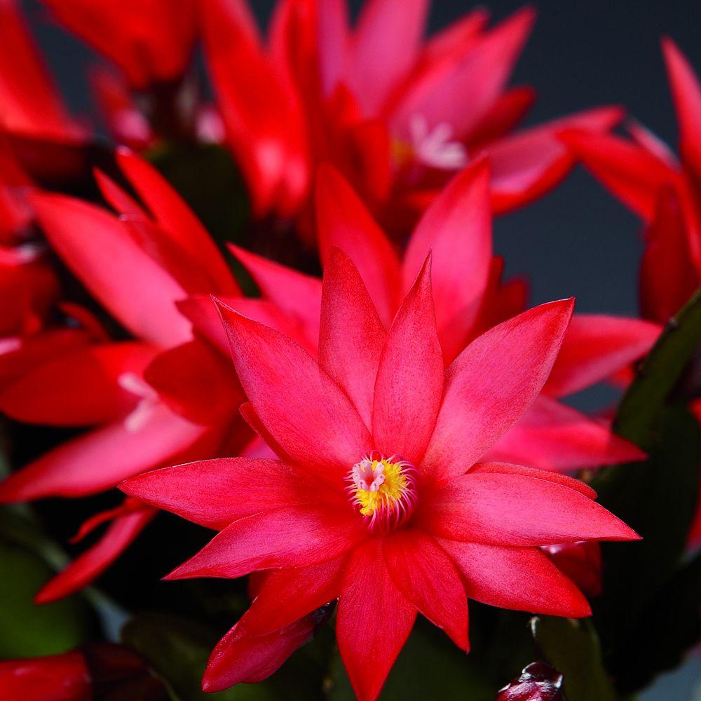 adelaparvu.com despre Florea Pastelui, Rhipsalidopsis, text Carli Marian, Foto Floradania (3)