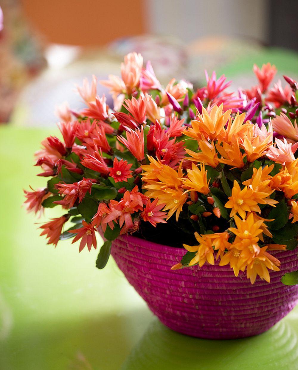 adelaparvu.com despre Florea Pastelui, Rhipsalidopsis, text Carli Marian, Foto Floradania (5)