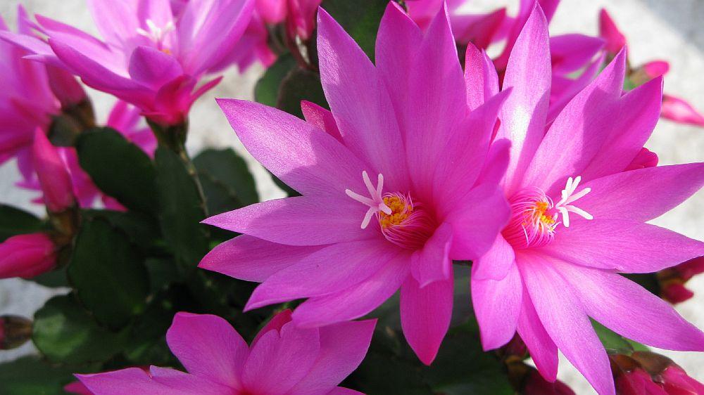 adelaparvu.com despre Florea Pastelui, Rhipsalidopsis, text Carli Marian, Foto Floradania (6)
