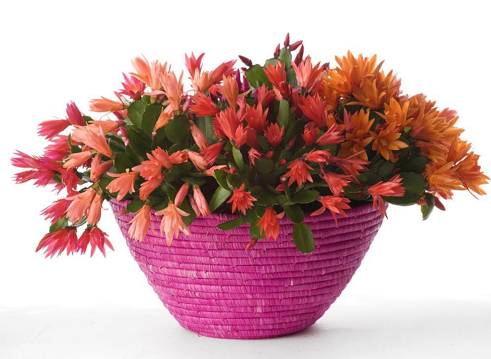 adelaparvu.com despre Florea Pastelui, Rhipsalidopsis, text Carli Marian, Foto Floradania (7)