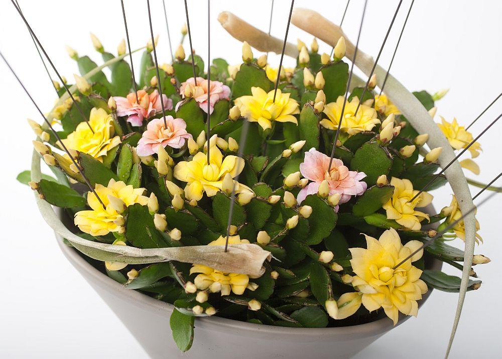 adelaparvu.com despre Florea Pastelui, Rhipsalidopsis, text Carli Marian, Foto Floradania (8)