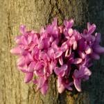 adelaparvu.com despre arborele care infloreste pe trunchi Cercis Siliquatrum, text Carli Marian (3)