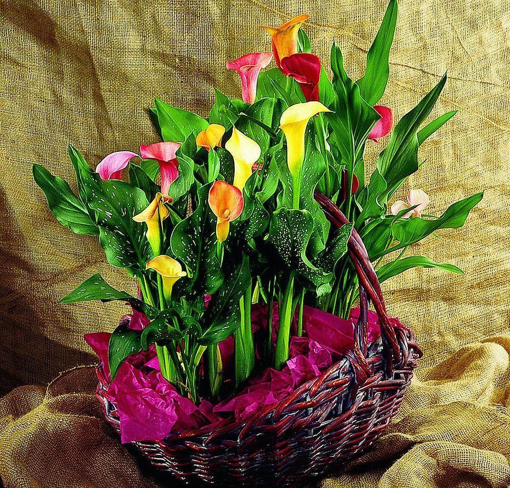 adelaparvu.com despre cala, Zantedeschia, text Carli Marian, Foto Floradania (2)