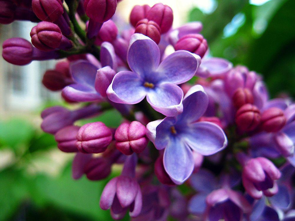 adelaparvu.com despre liliac, cum pastrezi liliacul mai mult timp in vaza, Text Carli Marian (10)