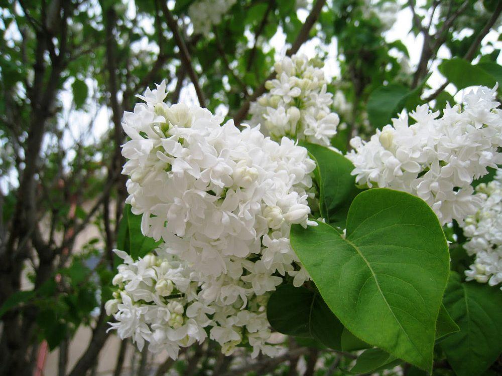 adelaparvu.com despre liliac, cum pastrezi liliacul mai mult timp in vaza, Text Carli Marian (3)