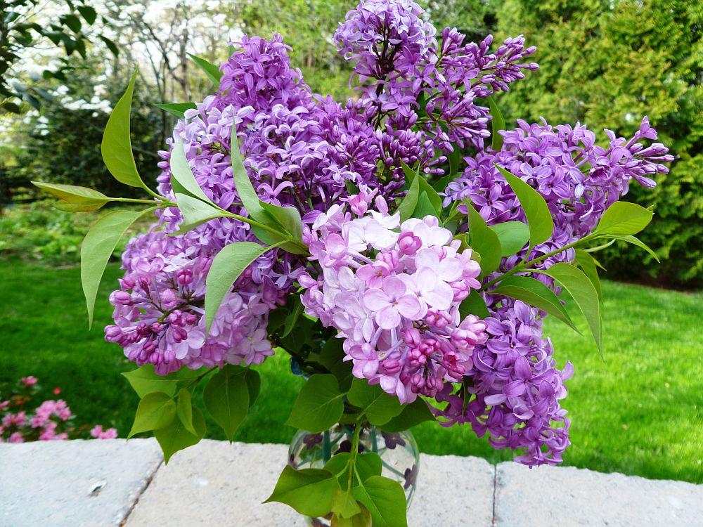 adelaparvu.com despre liliac, cum pastrezi liliacul mai mult timp in vaza, Text Carli Marian (6)