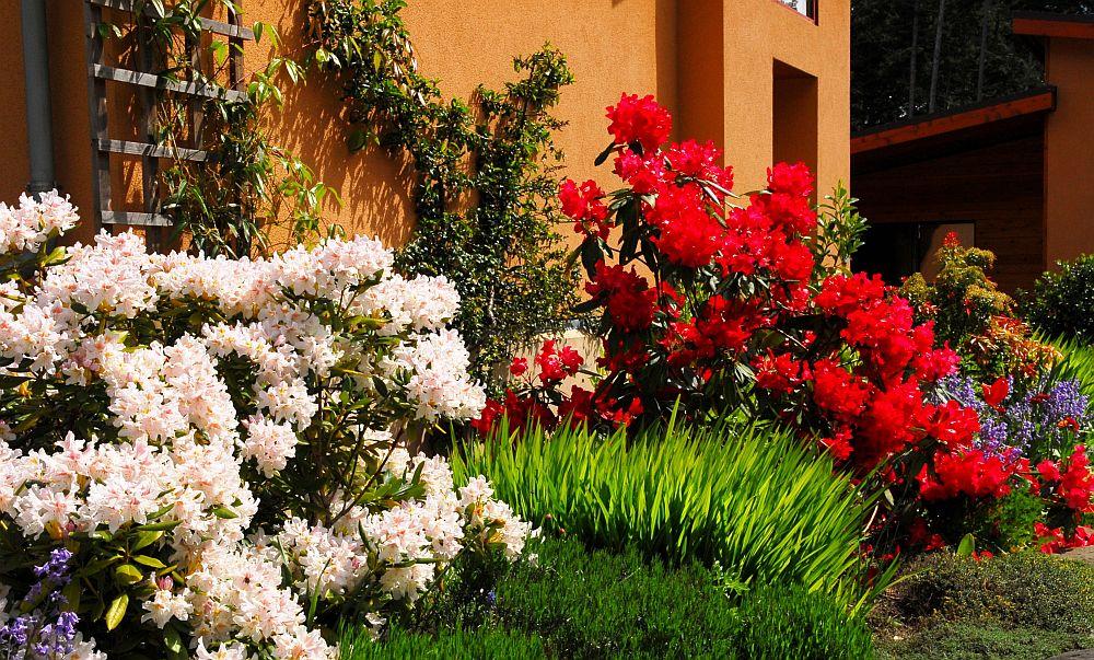 adelaparvu.com despre unde se planteaza azaleea de gradina si rododendronul, Text Carli Marian (2)