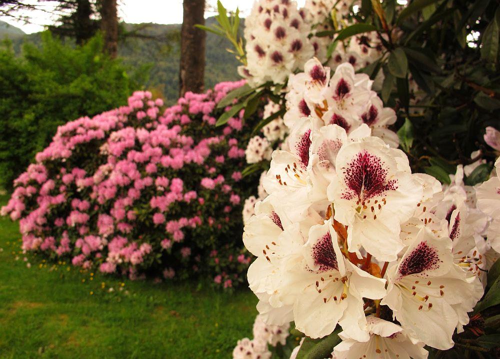adelaparvu.com despre unde se planteaza azaleea de gradina si rododendronul, Text Carli Marian (3)